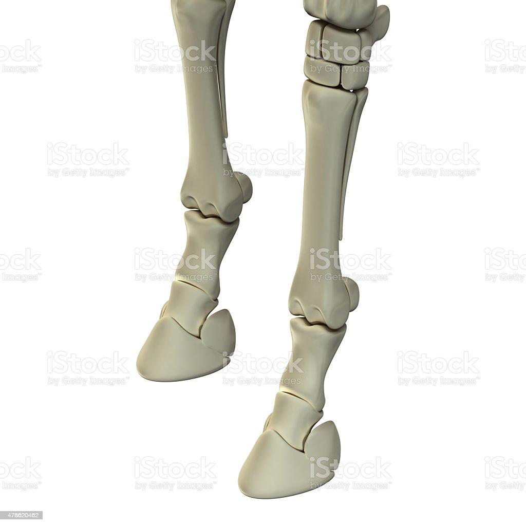 Fotografía de Horse Pata Delantera Huesos Equuscaballo De Anatomía y ...