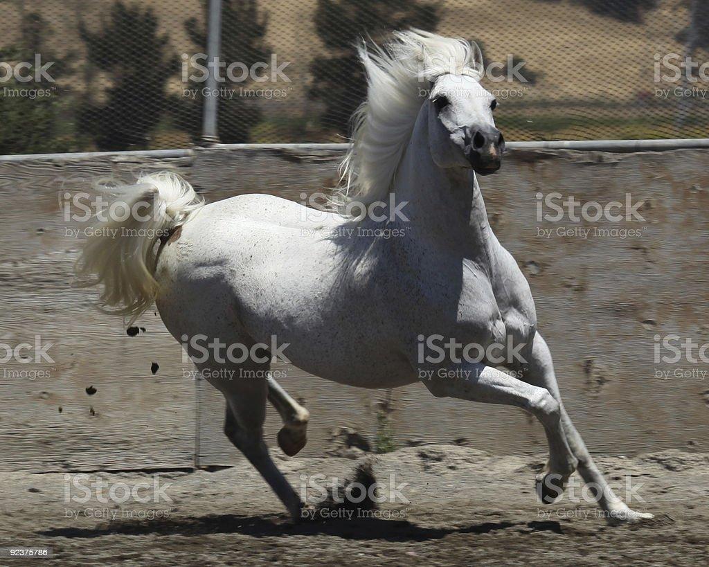 Horse Galloping auf Biegen Sie Lizenzfreies stock-foto