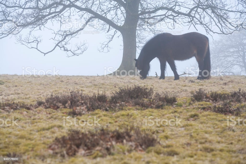 horse grassing under large tree in foggy landscape stock photo