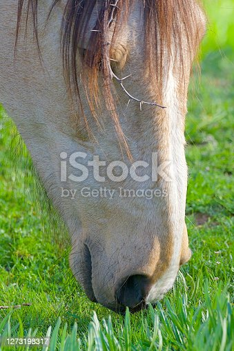 istock A horse grazes on fresh grass in the Andes of Chile 1273198317