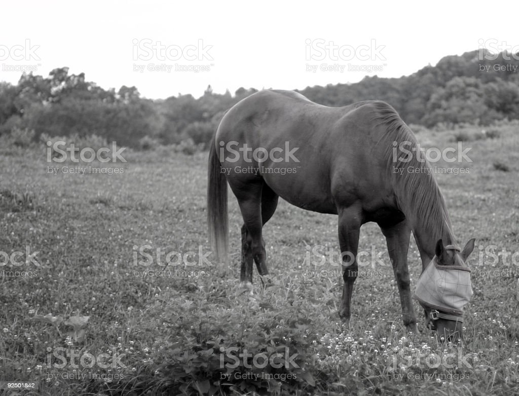 Horse grazing, black and white royalty-free stock photo