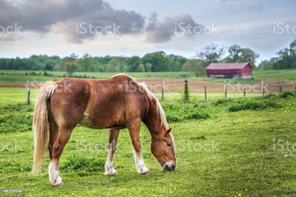 Horse grazing in a field on a rural Maryland farm with red barn stock photo