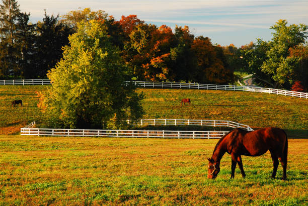 Horse grazing in autumn A lone horse grazes in an open field in autumn in Kentucky's Bluegrass region southern charm stock pictures, royalty-free photos & images