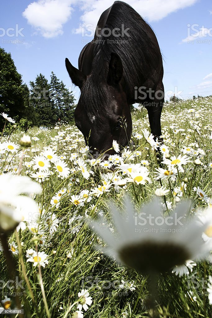 Horse Grazing in Daisy Field royalty-free stock photo