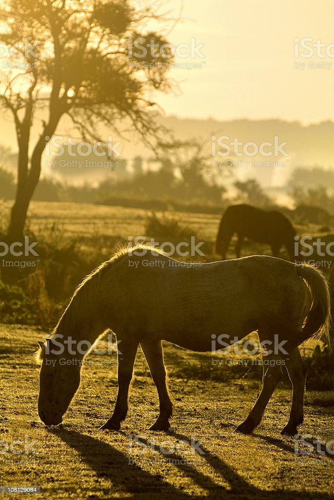 Horse Grazing in Field royalty-free stock photo