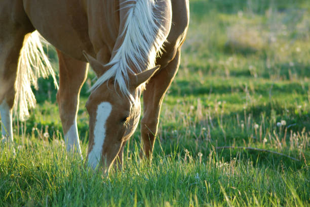 Horse grazing in Northern California. Palomino grazing in a field in Northeastern California. palomino stock pictures, royalty-free photos & images