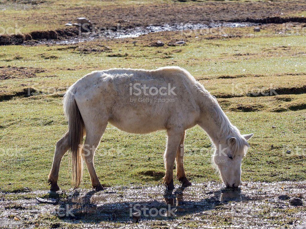 Horse grazing in the field of Tibet stock photo