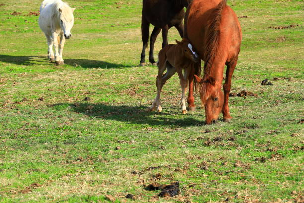 Horse grazing paper, Hallasan, meadow, ranch, field, horse, jejuma stock photo
