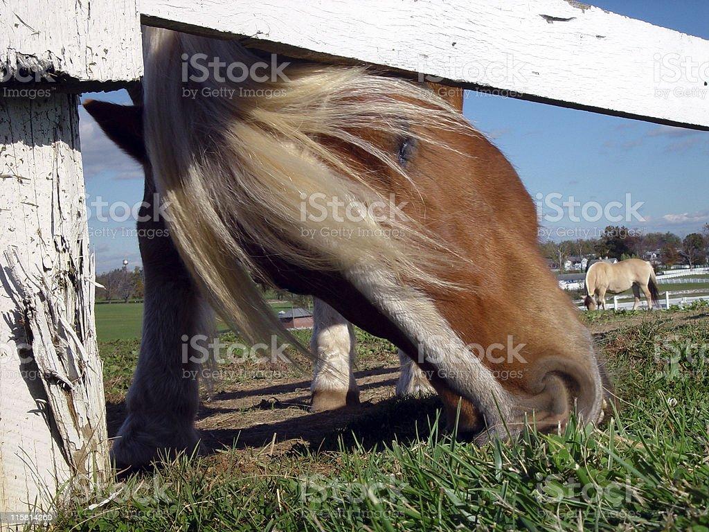 Horse Grazing Under Fence stock photo