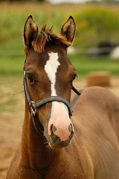 Horse Grulla Filly stock photo