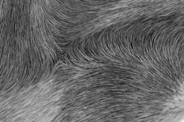 Horse hair in black and white picture id1044145536?b=1&k=6&m=1044145536&s=612x612&w=0&h=vhyn4jdifqt0lmjnrgqfdaexrnu2pfhhs bdw sci2o=