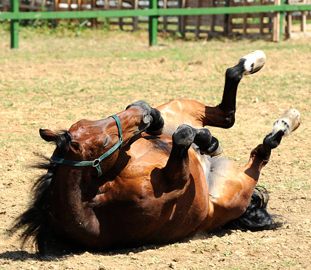 Horse having a roll stock photo