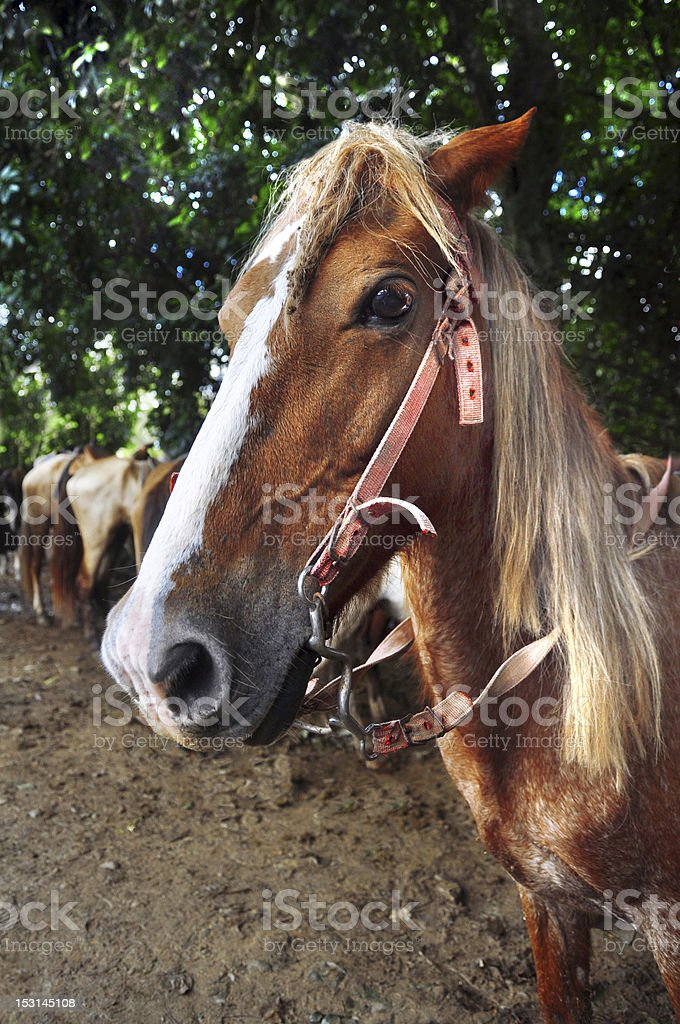 horse head, close-up royalty-free stock photo