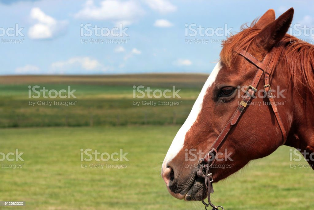 Horse Head In Southern Alberta Canada Stock Photo & More Pictures of  Agricultural Field