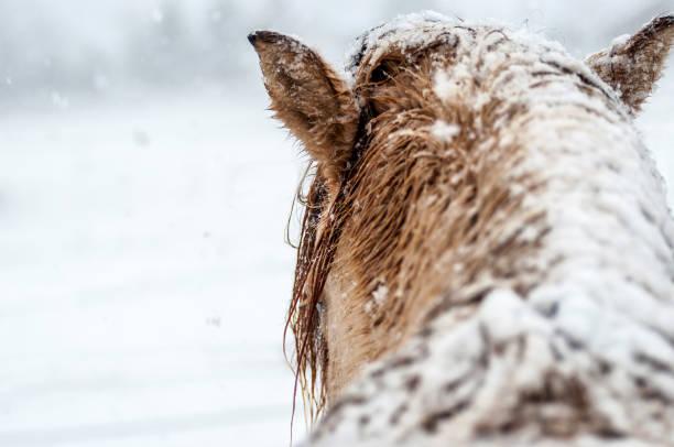 Horse head in winter backside picture id653000176?b=1&k=6&m=653000176&s=612x612&w=0&h=hbgdhnvyry7netk5fakb6ghrwvki5jn7 unsu9dgouu=