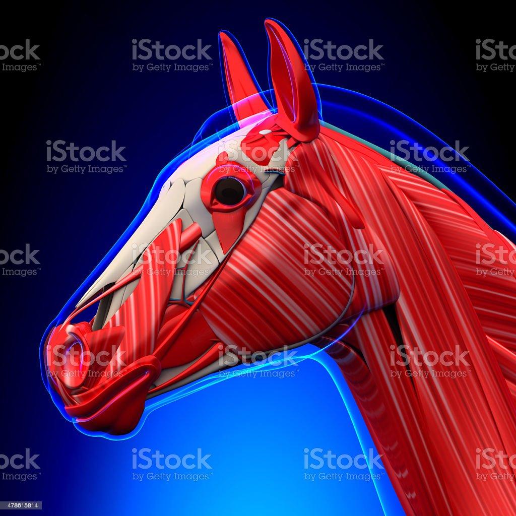 Fotografía de Cabeza De Caballo Caballos Anatomía Equus Los Músculos ...
