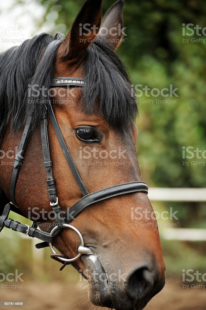Horse head portrait in harness  . stock photo