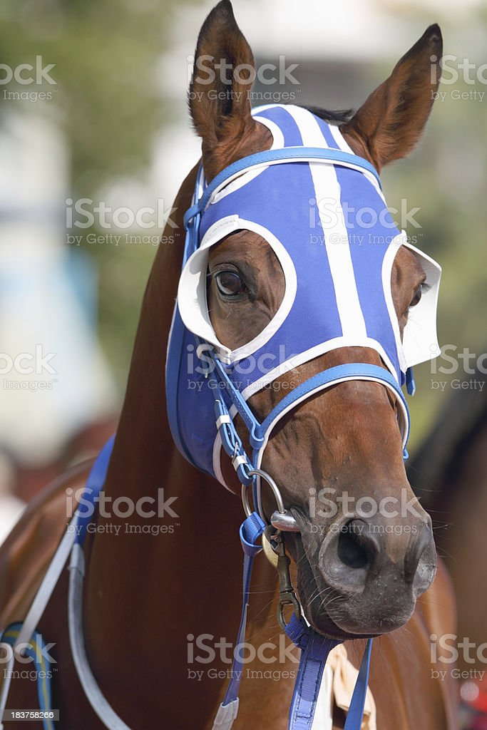 Horse head with Blue Blinders stock photo
