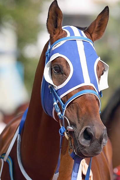 pferde kopf mit blauen scheuklappe - scheuklappe stock-fotos und bilder