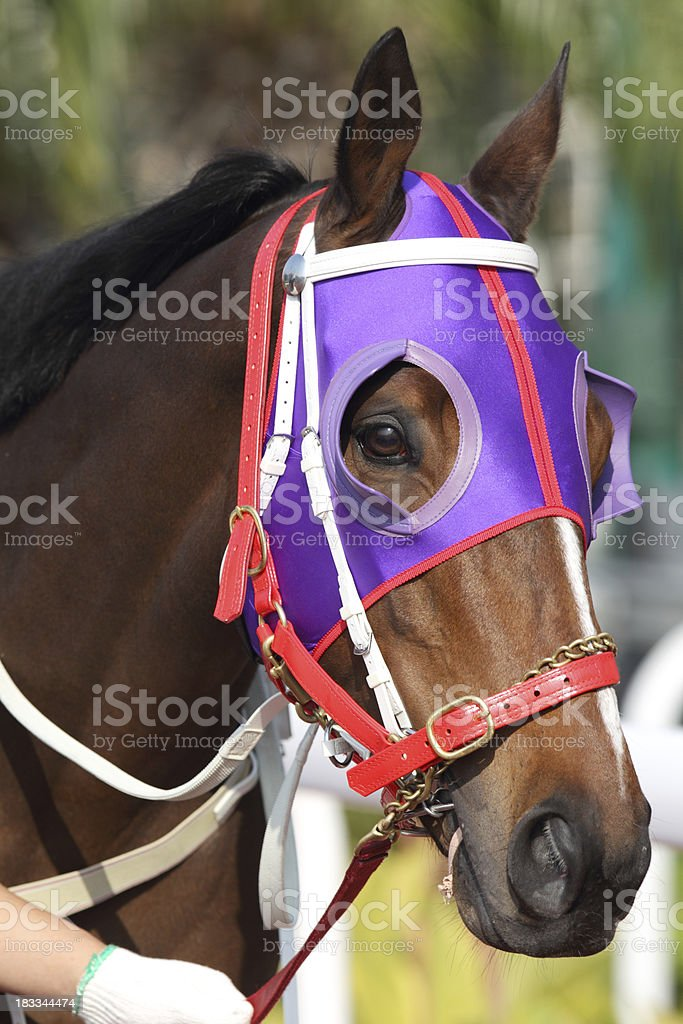 Horse head with Purple Blinders stock photo