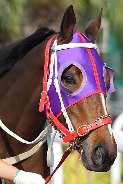 pferde kopf mit lila scheuklappe - scheuklappe stock-fotos und bilder