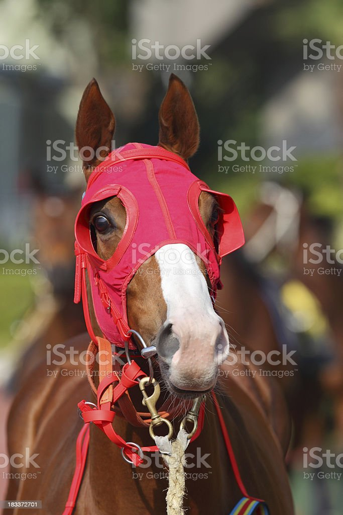 Horse head with Red Blinders stock photo