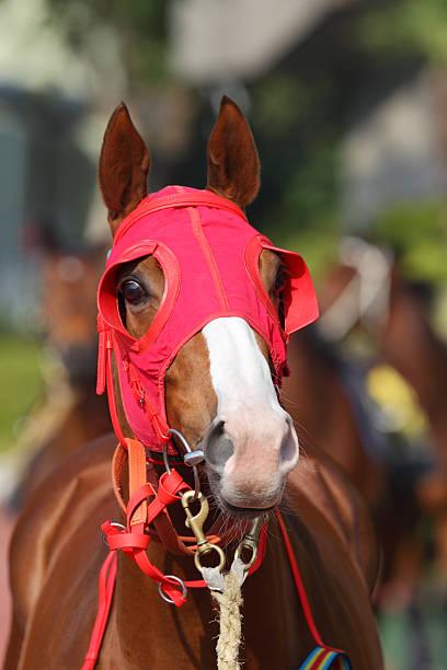 pferde kopf mit roten scheuklappe - scheuklappe stock-fotos und bilder