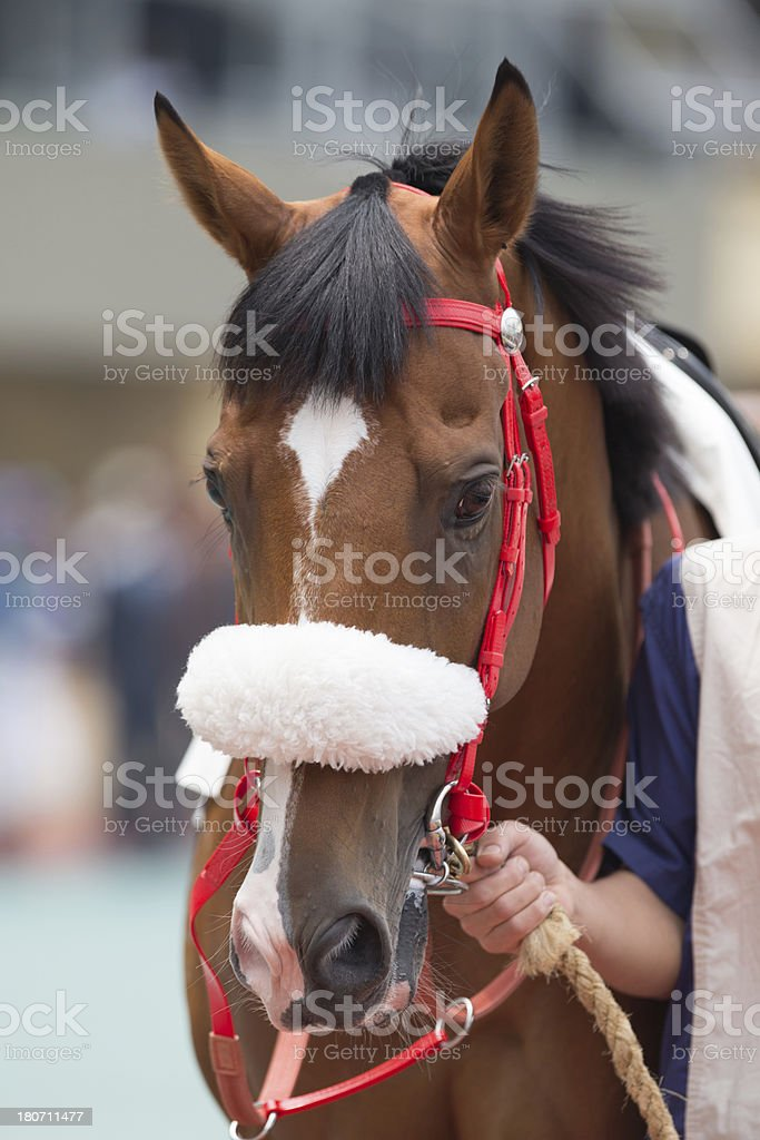 Horse head with Shadow Roll royalty-free stock photo