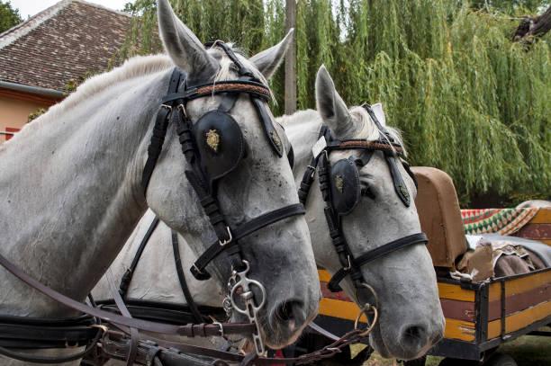 Horse heads picture id1219405823?b=1&k=6&m=1219405823&s=612x612&w=0&h=wh r gsafq2aaqbsknxs2ojti7qyzhqfva0 kmmgiyk=