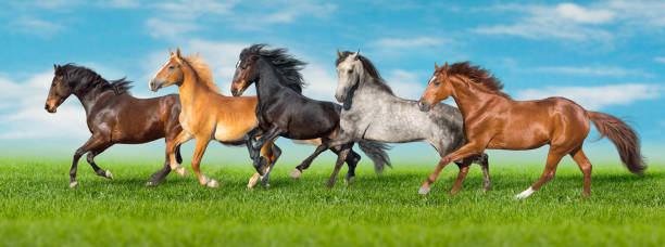 Horse herd galloping on spring grass Horses free run gallop i green field with blue sky behind palomino stock pictures, royalty-free photos & images