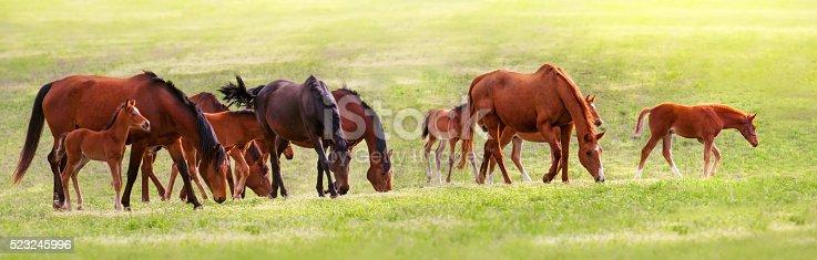 Horse herd grazing on green spring pasture
