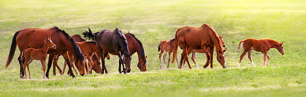 Horse herd on pasture Horse herd grazing on green spring pasture foal young animal stock pictures, royalty-free photos & images