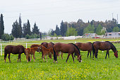Group thoroughbred mares and foals