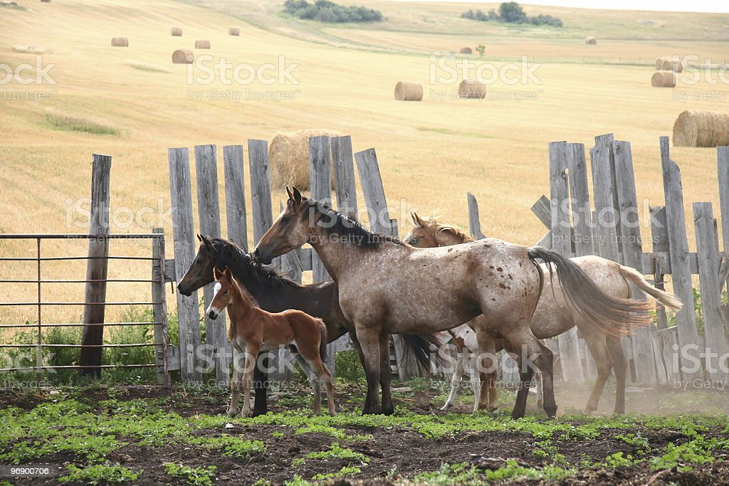 Horse Herd royalty-free stock photo