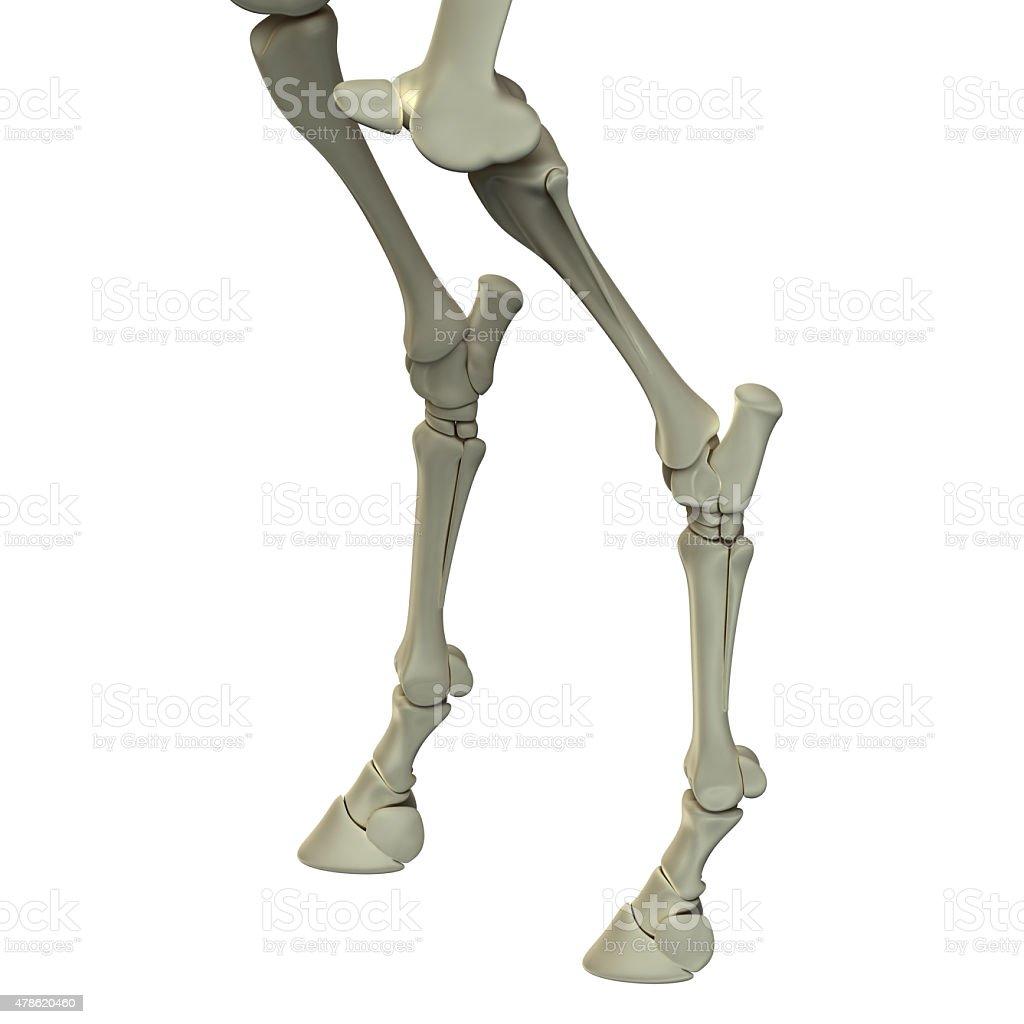Horse Hind Leg Bones Horse Equus Anatomy Stock Photo & More Pictures ...