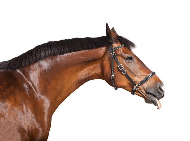 horse his tongue out - lustige pferde stock-fotos und bilder