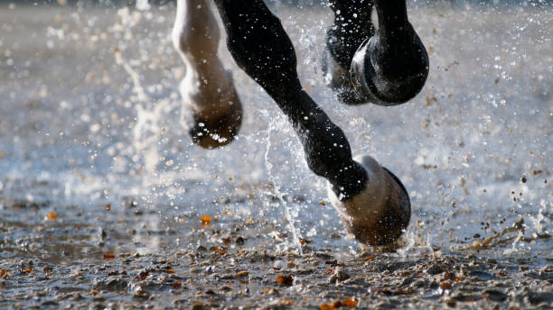 sabots de cheval frappant le sol mouillé - membre photos et images de collection