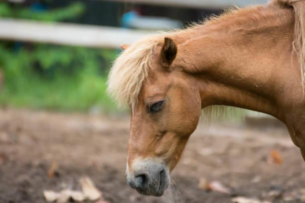 pferd pferde krank krank federn und mähne ansteckenden krankheiten und parasiten. - traumscheune stock-fotos und bilder