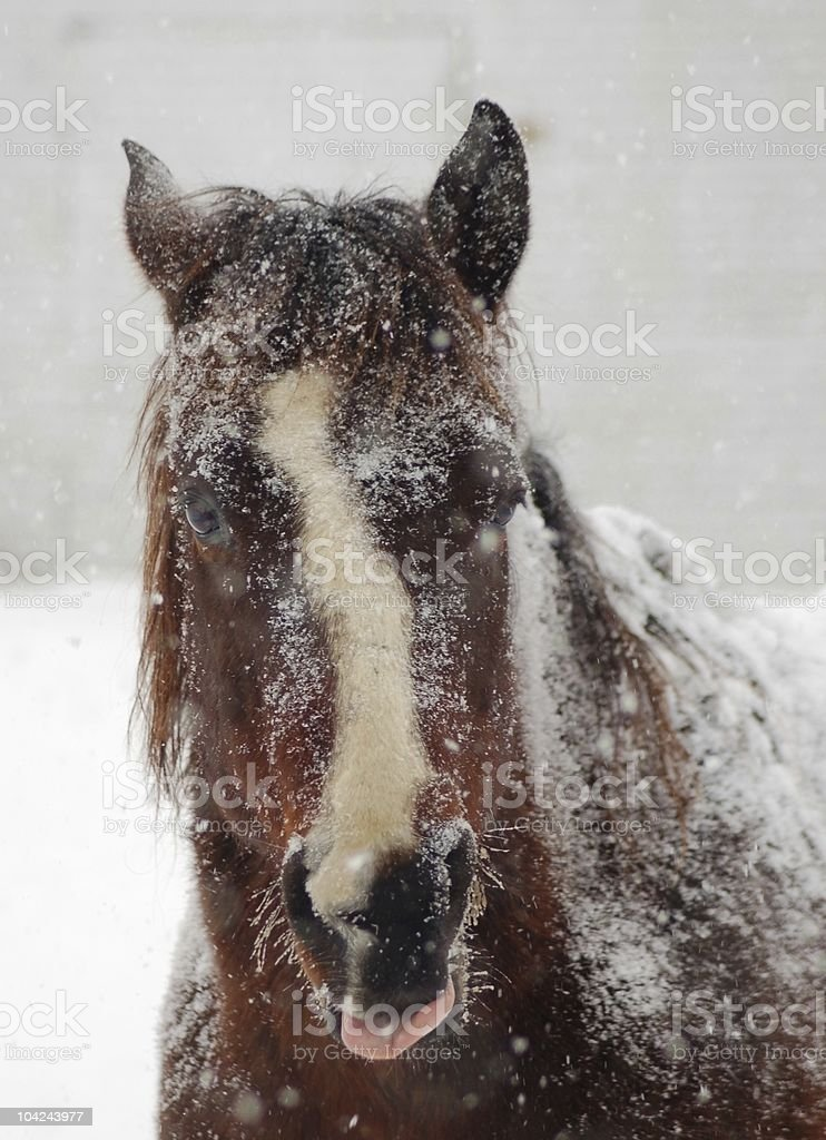 Horse in a Blizzard stock photo