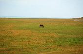 A brown horse grazes amongst a field of wild iris in the Owen's Valley.