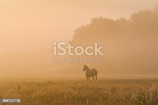 Horse in a foggy field