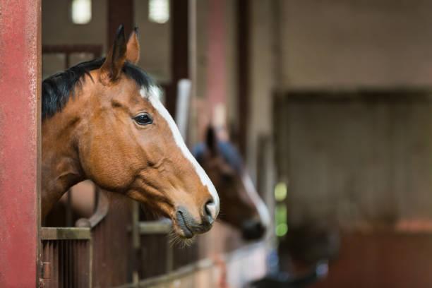 Horse in a stall picture id679255360?b=1&k=6&m=679255360&s=612x612&w=0&h=4o2lbrmj2nkrjd8hkeyicuhqd03wa2lkovvicwcpyku=