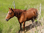 Horse in beautiful green pastures by fence in Rockville Utah below Mt Kinesava Utah and Zion National Park Utah