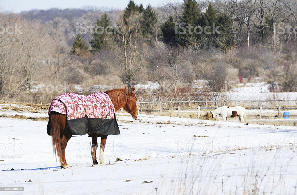 Horse in Blanket stock photo