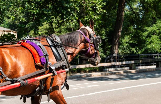 pferd in central park new york - scheuklappe stock-fotos und bilder