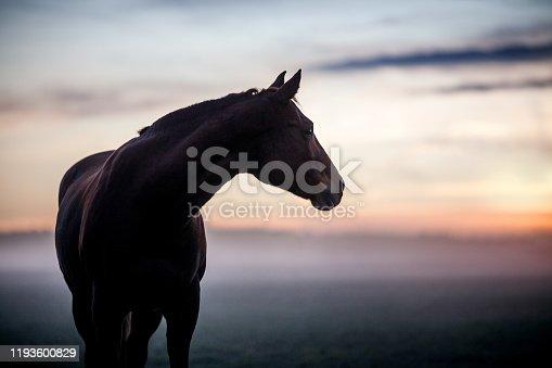 Quarter Horse in Winter Fog
