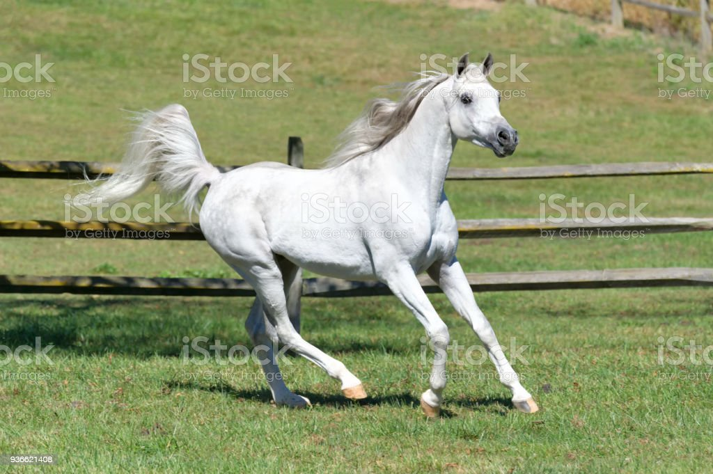 Horse In Motion Beautiful White Arabian Stallion With Flagging Tail Stock Photo Download Image Now Istock