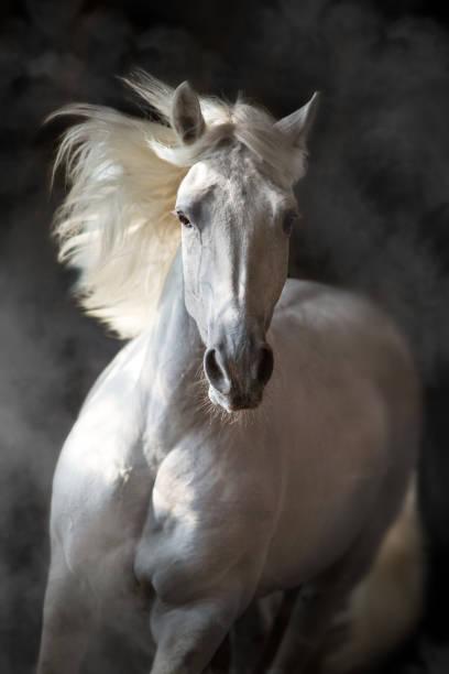 pferd in bewegung auf schwarz - andalusier pferd stock-fotos und bilder