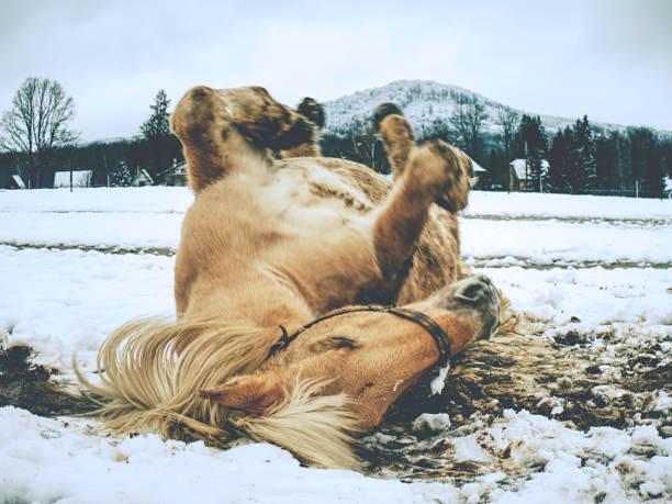 pferd in schneefreien lügen. pferde rollen oft im schnee - pferdespiele kostenlos spielen stock-fotos und bilder