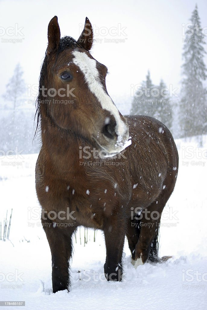 Horse in snow royalty-free stock photo